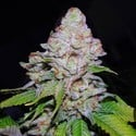White Berry (VIP Seeds) feminized