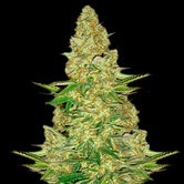 Power VIP (VIP Seeds) Femminizzata