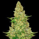 Power VIP (VIP Seeds) feminisiert