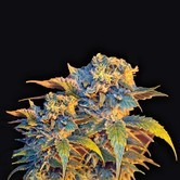 Colombian Sweet (VIP Seeds) feminisiert