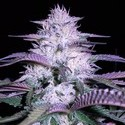 Currant Kush (VIP Seeds) feminized