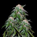 Medical VIP (VIP Seeds) feminisiert