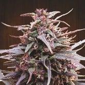 Purple Haze x Malawi (ACE Seeds) feminized