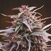 Purple Haze x Malawi (ACE Seeds) feminisiert