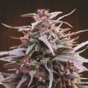 Purple Haze x Malawi (ACE Seeds) feminized