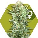 Power Kush (Zambeza) feminized