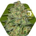 Green Monster Autoflowering (Zambeza) feminized
