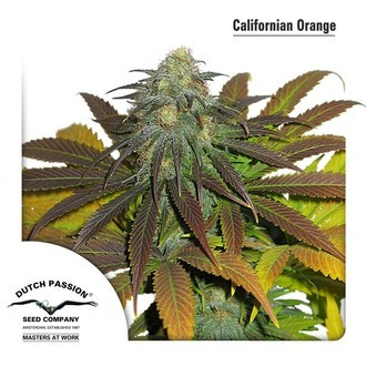 Californian Orange (Dutch Passion) feminisiert