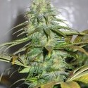 Californian Orange (Dutch Passion) feminized