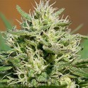 Medical Kush Automatic (Spliff Seeds) feminisiert