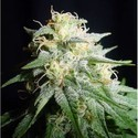 White Widow Automatic (Spliff Seeds) feminisiert