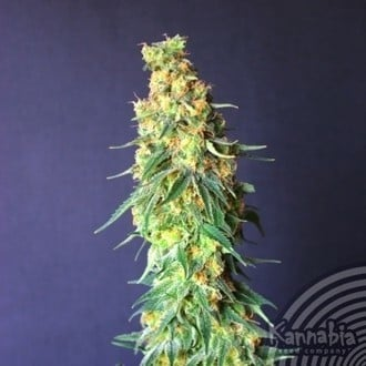 White Domina CBD (Kannabia) feminized