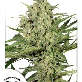 Dutch Cheese (Dutch Passion) feminized