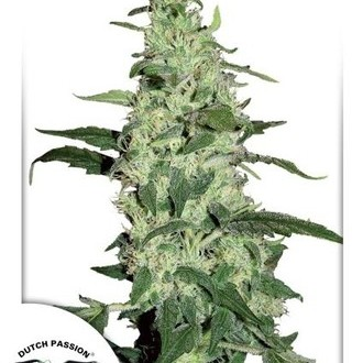 Skywalker (Dutch Passion) femminizzata