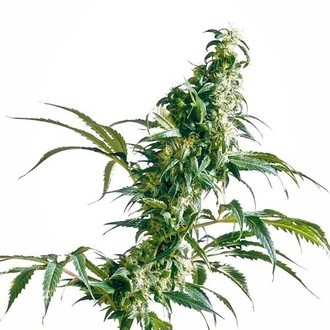 Mexican Sativa (Sensi Seeds) regular/feminized