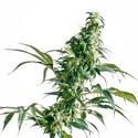 Mexican Sativa (Sensi Seeds) Regolare/femminzzata