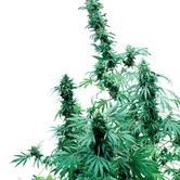 Early Skunk (Sensi Seeds) Regolare