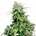 California Indica (Sensi Seeds) regolare/femminzzata