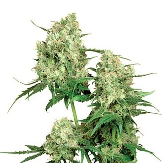 Maple Leaf Indica (Sensi Seeds) regular