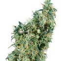 First Lady (Sensi Seeds) Regolare