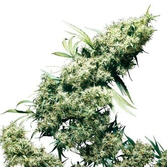 Jamaican Pearl (Sensi Seeds) regular/feminized