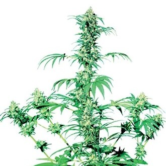 Early Girl (Sensi Seeds) regolare