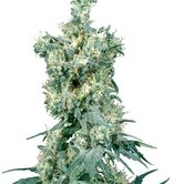 American Dream (Sensi Seeds) regolare
