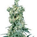 American Dream (Sensi Seeds) regular