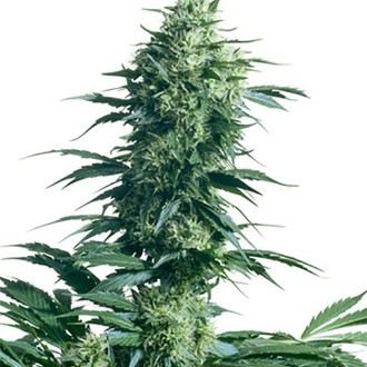 Mother's Finest (Sensi Seeds) regulär