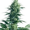 Mother's Finest (Sensi Seeds) Regolare