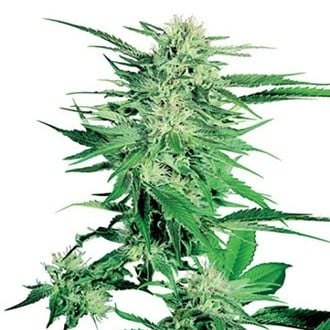 Big Bud (Sensi Seeds) regulär