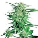 Big Bud (Sensi Seeds) regolare