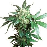 Black Domina (Sensi Seeds) Regolare