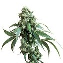 Jack Flash (Sensi Seeds) regolare