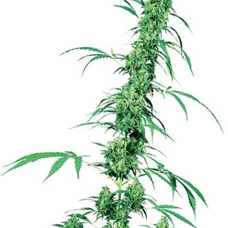 Fruity Juice (Sensi Seeds) Regolare