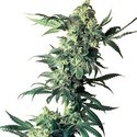 Northern Lights (Sensi Seeds) regolare