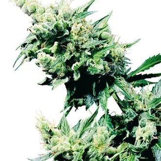 Hash Plant (Sensi Seeds) regulär