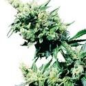 Hash Plant (Sensi Seeds) Regolare