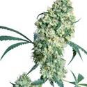 Ed Rosenthal Super Bud (Sensi Seeds) Regolare