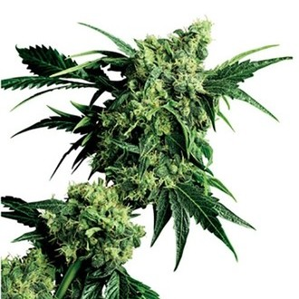 Mr. Nice G13 x Hash Plant (Sensi Seeds) regolare