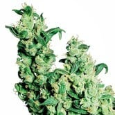 Jack Herer (Sensi Seeds) regular