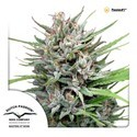 Passion 1 (Dutch Passion) feminized