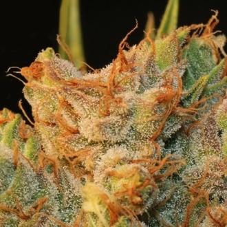 MK-Ultra Kush x Bubble (T.H. Seeds) feminized