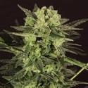AUTO MK-Ultra® Kush (T.H. Seeds) Femminizzata
