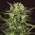AUTO MK-Ultra® Kush (T.H. Seeds) feminized