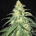 S.A.G.E. CBD (T.H. Seeds) feminized