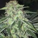 LA S.A.G.E. CBD (T.H. Seeds) Femminizzata