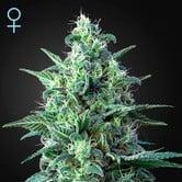White Widow Auto CBD (Greenhouse Seeds) feminisiert