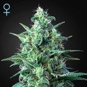White Widow Auto CBD (Greenhouse Seeds) feminisiert
