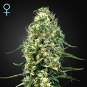 Super Silver Haze CBD (Greenhouse Seeds) feminisiert